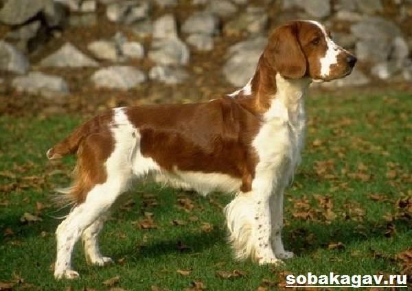 Русский-охотничий-спаниель-собака-Описание-особенности-уход-и-цена-породы-6