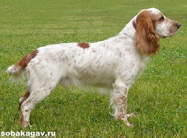 Русский-охотничий-спаниель-собака-Описание-особенности-уход-и-цена-породы-7