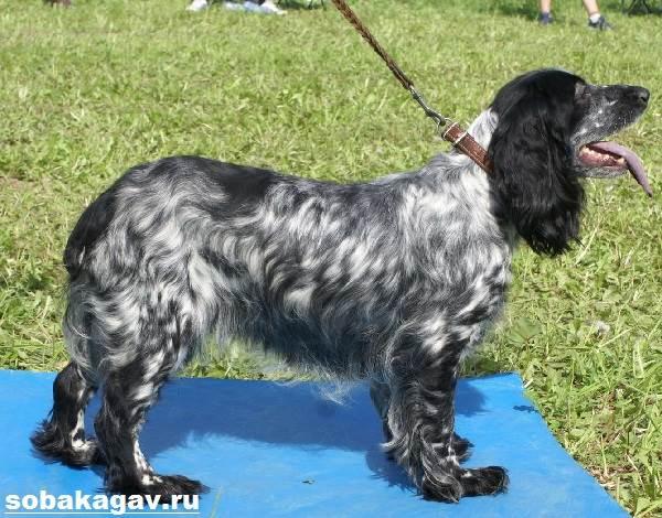 Русский-охотничий-спаниель-собака-Описание-особенности-уход-и-цена-породы-8