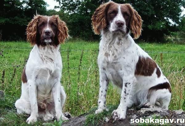 Русский-охотничий-спаниель-собака-Описание-особенности-уход-и-цена-породы-9