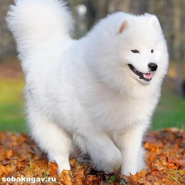 Самоедская-лайка-собака-Описание-особенности-уход-и-цена-породы-2
