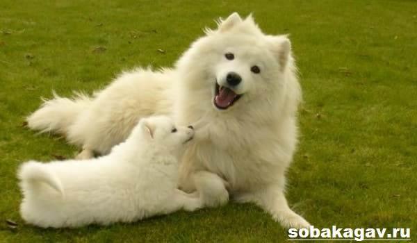 Самоедская-лайка-собака-Описание-особенности-уход-и-цена-породы-3