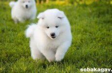 Самоедская лайка собака. Описание, особенности, уход и цена породы
