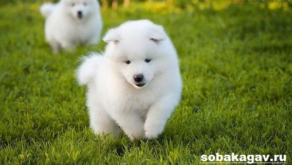 Самоедская-лайка-собака-Описание-особенности-уход-и-цена-породы-4