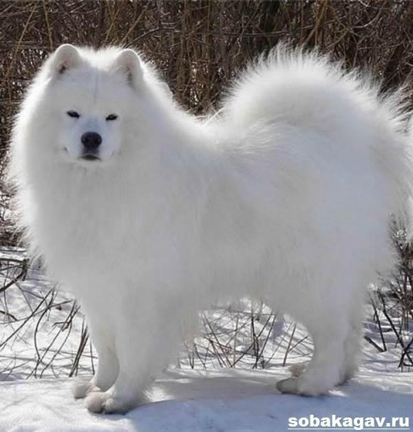 Самоедская-лайка-собака-Описание-особенности-уход-и-цена-породы-5