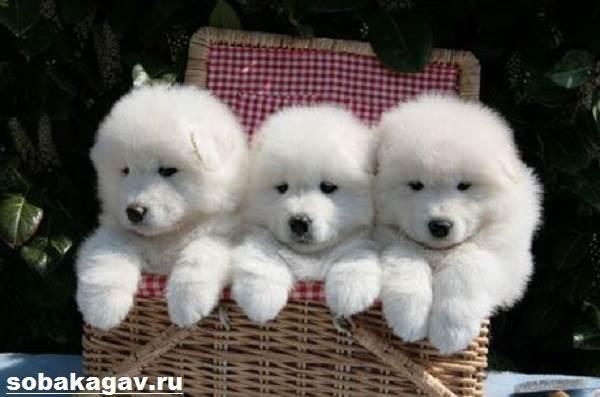 Самоедская-лайка-собака-Описание-особенности-уход-и-цена-породы-7