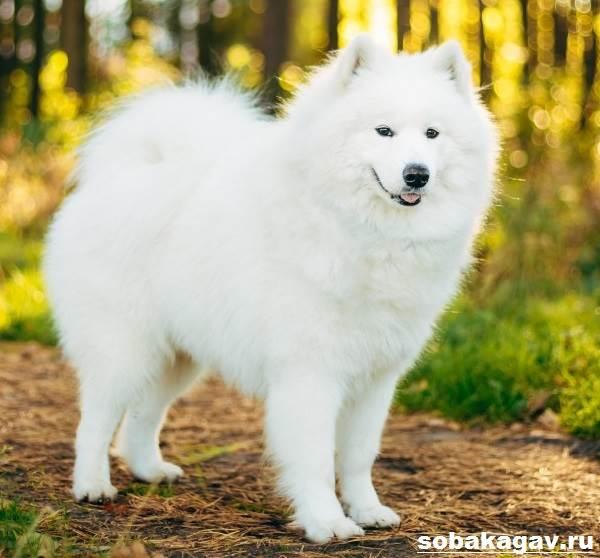 Самоедская-лайка-собака-Описание-особенности-уход-и-цена-породы-8