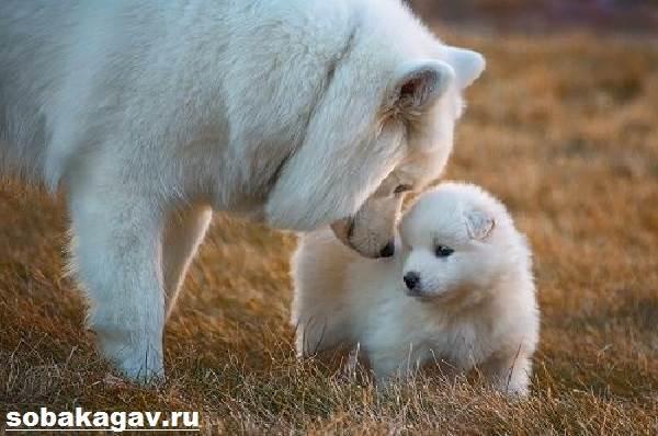 Самоедская-лайка-собака-Описание-особенности-уход-и-цена-породы-9