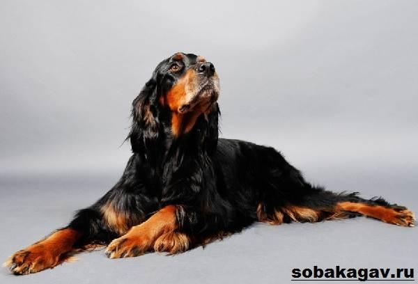 Сеттер-гордон-собака-Описание-особенности-уход-и-цена-породы-1