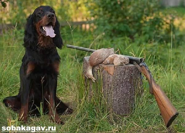 Сеттер-гордон-собака-Описание-особенности-уход-и-цена-породы-10