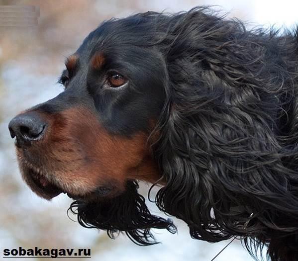 Сеттер-гордон-собака-Описание-особенности-уход-и-цена-породы-3