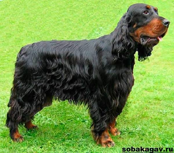 Собака сеттер гордон