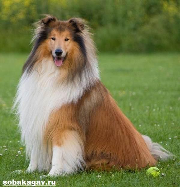 Шелти-собака-Описание-особенности-уход-и-цена-породы-шелти-10