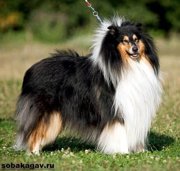Шелти-собака-Описание-особенности-уход-и-цена-породы-шелти-11