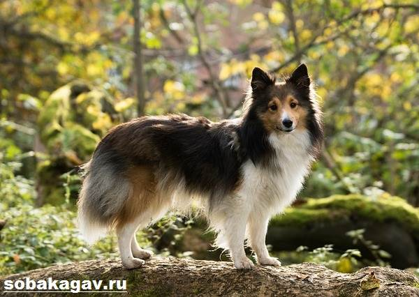 Шелти-собака-Описание-особенности-уход-и-цена-породы-шелти-13