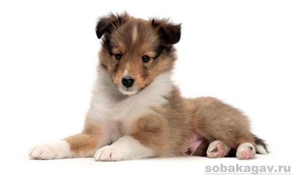 Шелти-собака-Описание-особенности-уход-и-цена-породы-шелти-14