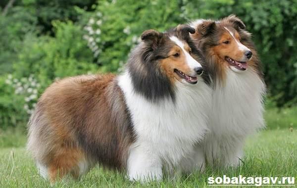 Шелти-собака-Описание-особенности-уход-и-цена-породы-шелти-3