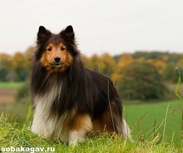 Шелти-собака-Описание-особенности-уход-и-цена-породы-шелти-4