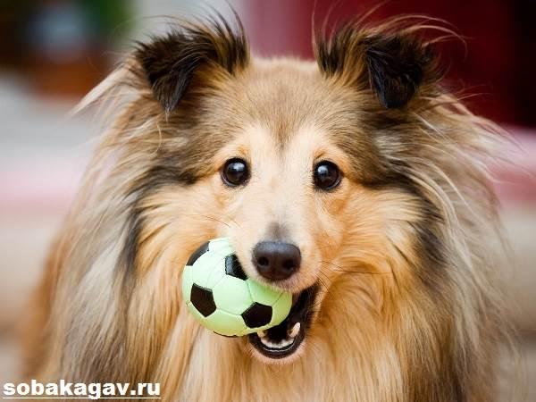 Шелти-собака-Описание-особенности-уход-и-цена-породы-шелти-5