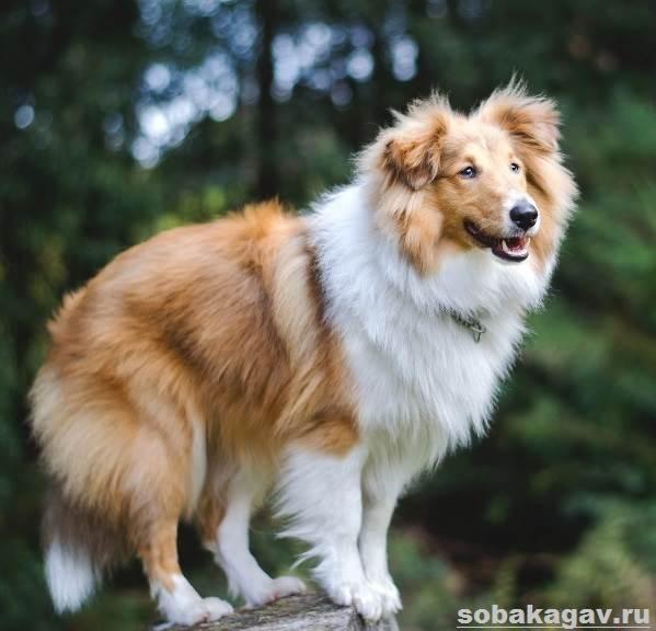Шелти-собака-Описание-особенности-уход-и-цена-породы-шелти-6