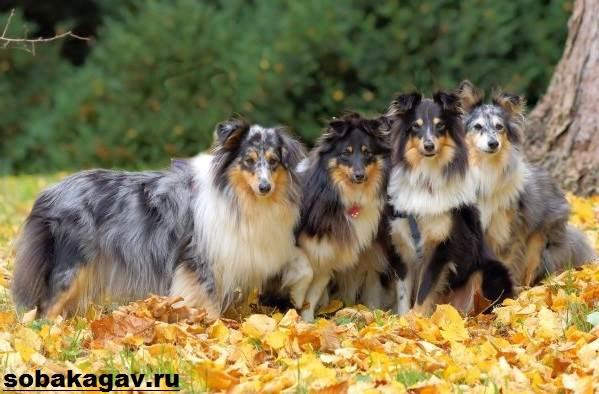 Шелти-собака-Описание-особенности-уход-и-цена-породы-шелти-7