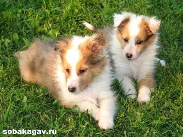 Шелти-собака-Описание-особенности-уход-и-цена-породы-шелти-8