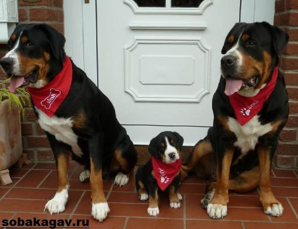 Швейцарский-зенненхунд-собака-Описание-особенности-уход-и-цена-породы-11
