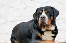 Швейцарский зенненхунд собака. Описание, особенности, уход и цена породы