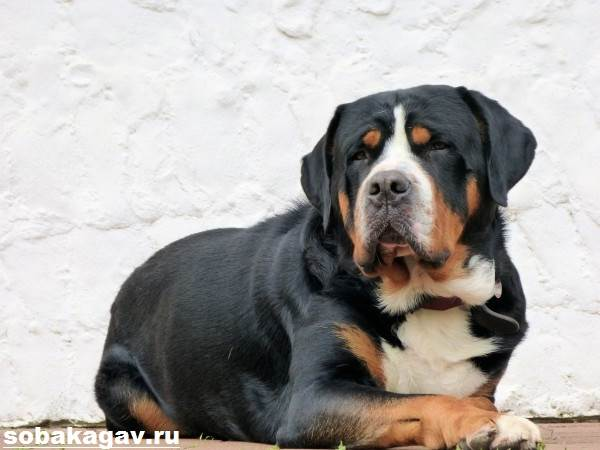 Швейцарский-зенненхунд-собака-Описание-особенности-уход-и-цена-породы-2