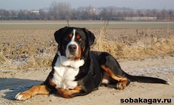 Швейцарский-зенненхунд-собака-Описание-особенности-уход-и-цена-породы-3