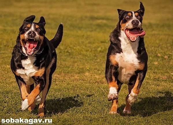 Швейцарский-зенненхунд-собака-Описание-особенности-уход-и-цена-породы-4