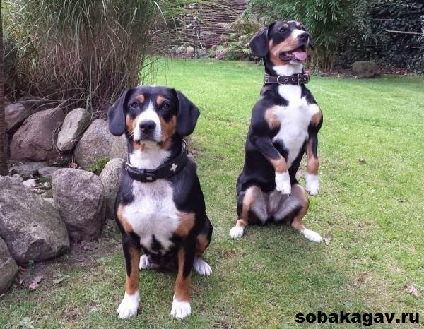 Швейцарский-зенненхунд-собака-Описание-особенности-уход-и-цена-породы-7