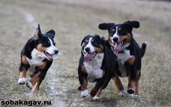 Швейцарский-зенненхунд-собака-Описание-особенности-уход-и-цена-породы-8