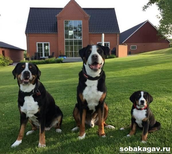 Швейцарский-зенненхунд-собака-Описание-особенности-уход-и-цена-породы-9