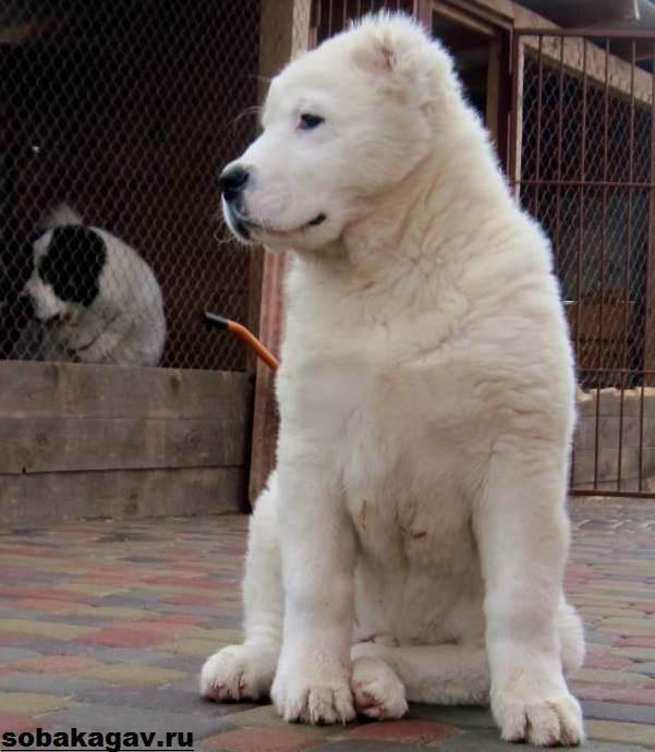 Среднеазиатская-овчарка-собака-Описание-особенности-уход-и-цена-породы-1