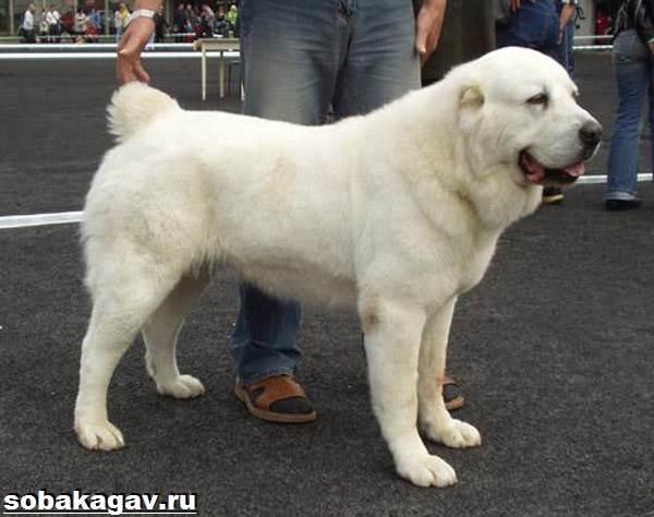 Среднеазиатская-овчарка-собака-Описание-особенности-уход-и-цена-породы-2