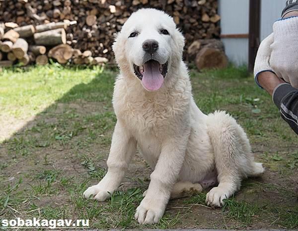 Среднеазиатская-овчарка-собака-Описание-особенности-уход-и-цена-породы-3