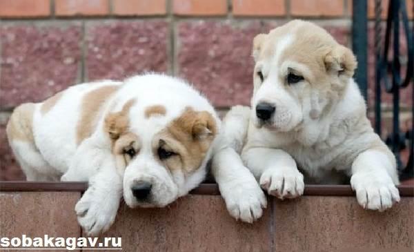 Среднеазиатская-овчарка-собака-Описание-особенности-уход-и-цена-породы-5