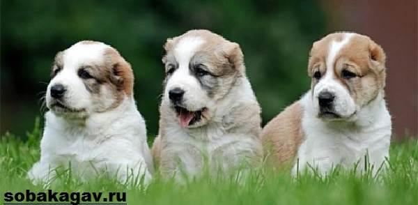 Среднеазиатская-овчарка-собака-Описание-особенности-уход-и-цена-породы-7