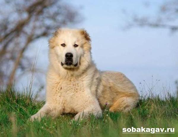Среднеазиатская-овчарка-собака-Описание-особенности-уход-и-цена-породы-9