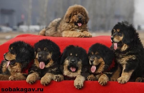 Тибетский-мастиф-собака-Описание-особенности-уход-и-цена-тибетского-мастифа-10