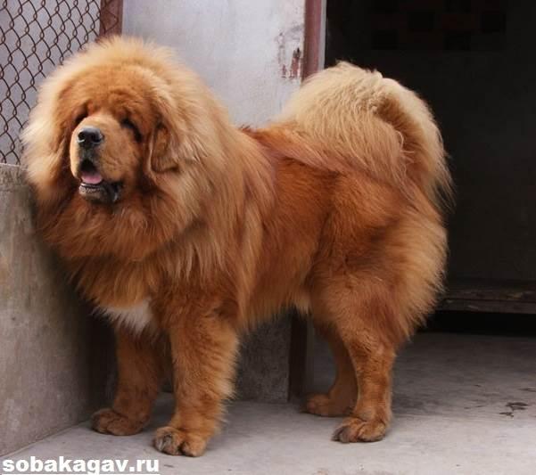 Тибетский-мастиф-собака-Описание-особенности-уход-и-цена-тибетского-мастифа-3