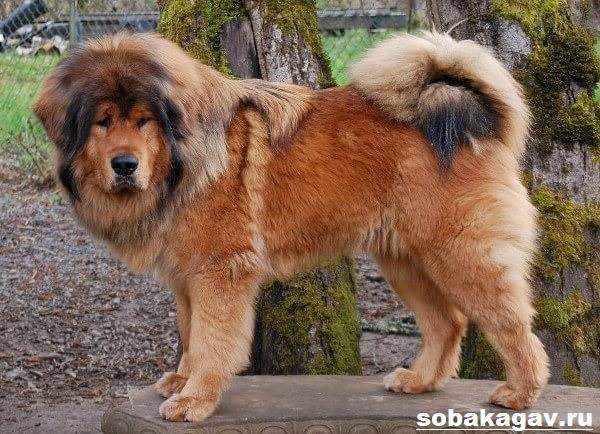Тибетский-мастиф-собака-Описание-особенности-уход-и-цена-тибетского-мастифа-4