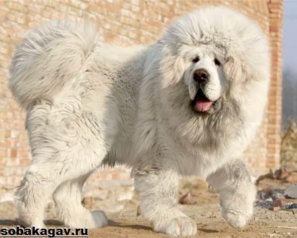 Тибетский-мастиф-собака-Описание-особенности-уход-и-цена-тибетского-мастифа-5