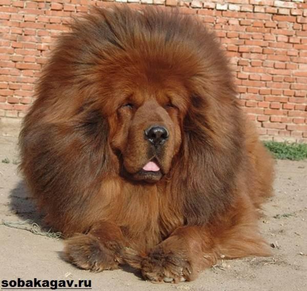 Тибетский-мастиф-собака-Описание-особенности-уход-и-цена-тибетского-мастифа-7