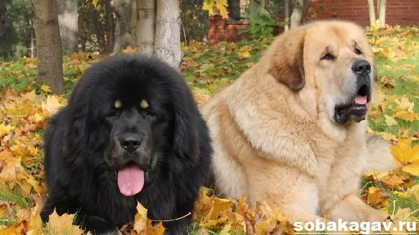 Тибетский-мастиф-собака-Описание-особенности-уход-и-цена-тибетского-мастифа-8