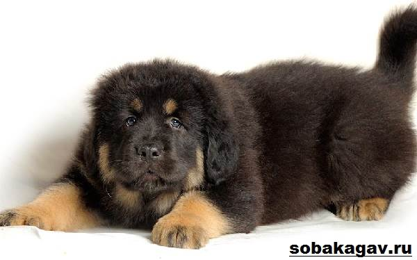Тибетский-мастиф-собака-Описание-особенности-уход-и-цена-тибетского-мастифа-9