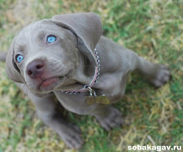 Веймаранер-собака-Описание-особенности-уход-и-цена-веймаранера-1