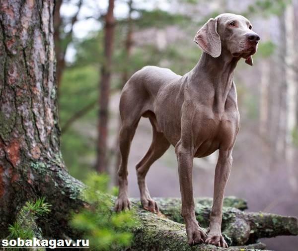 Веймаранер-собака-Описание-особенности-уход-и-цена-веймаранера-10