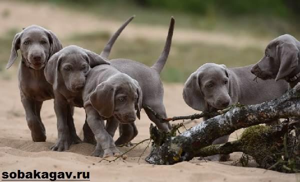 Веймаранер-собака-Описание-особенности-уход-и-цена-веймаранера-3